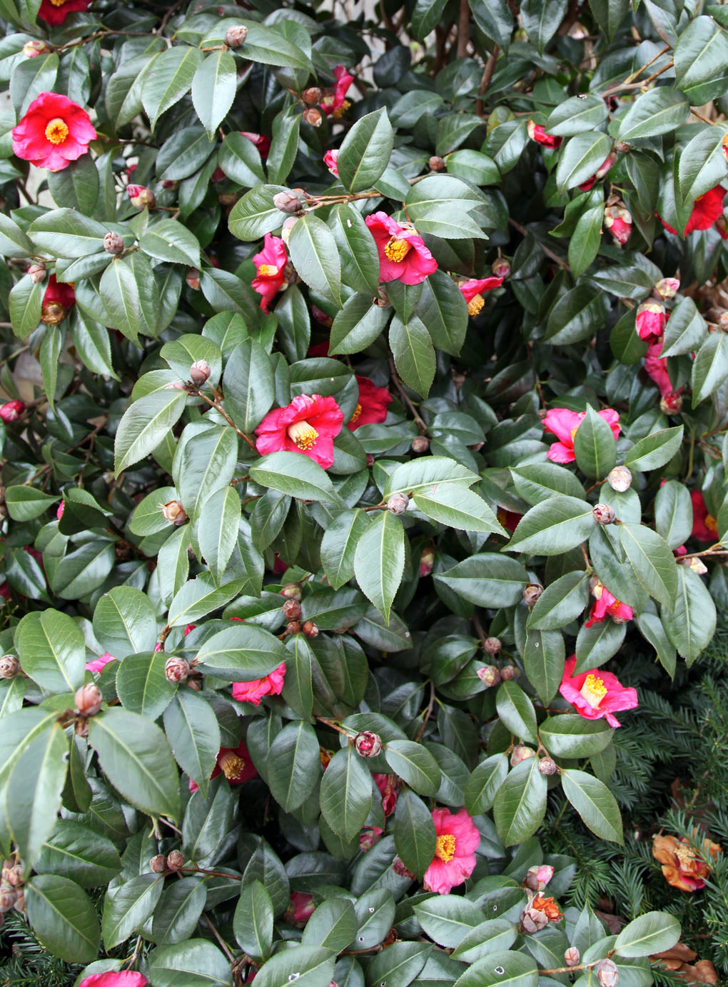 Plant of the week the camellia stately kitsch - Camelia planta ...