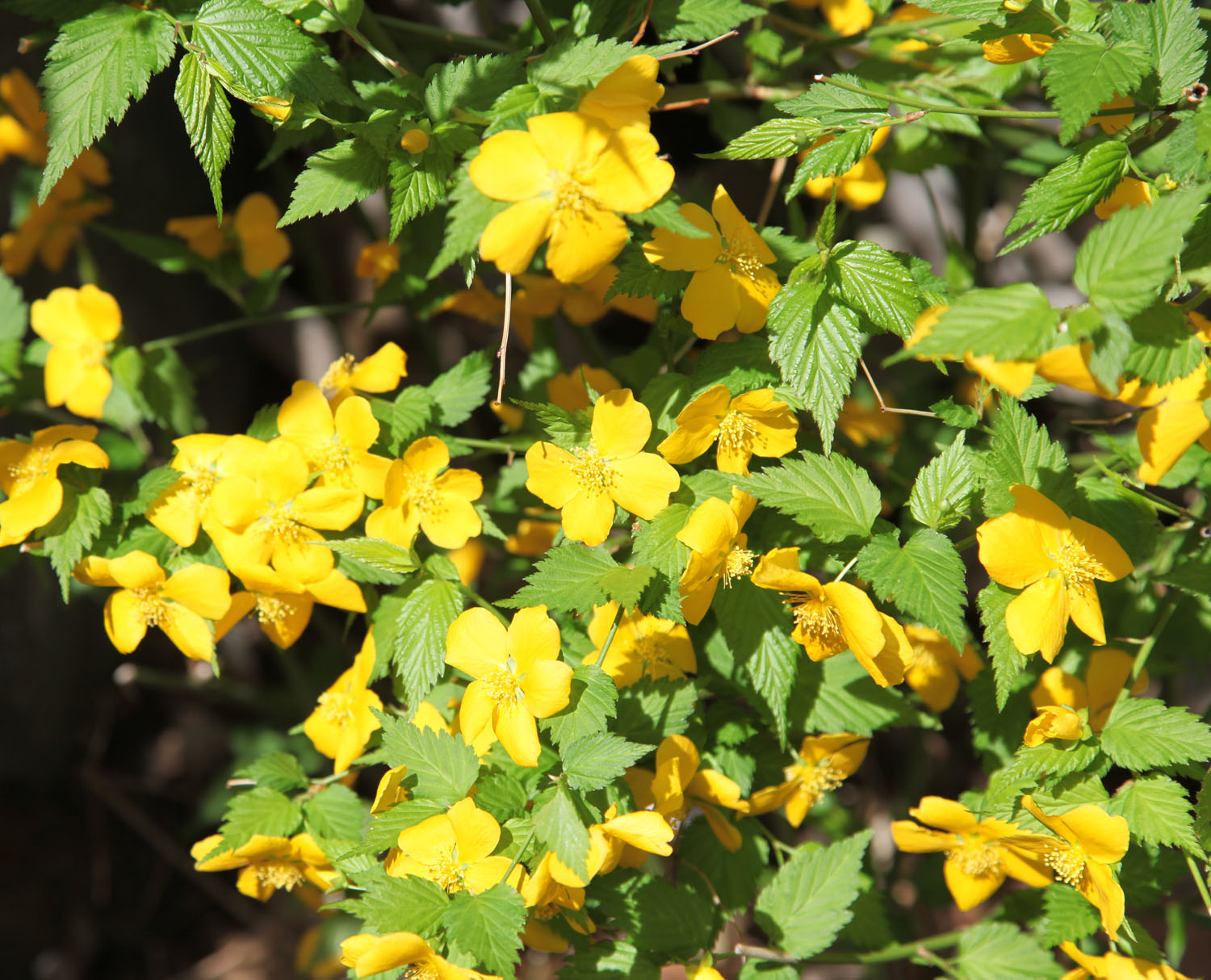 Plant of the week kerria japonica japanese rose for Kerria japonica