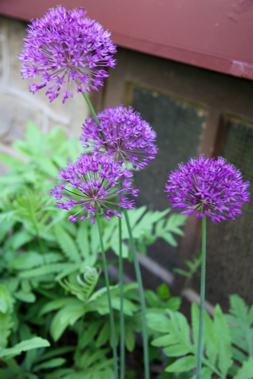 plant of the week alliums ornamental onions stately. Black Bedroom Furniture Sets. Home Design Ideas