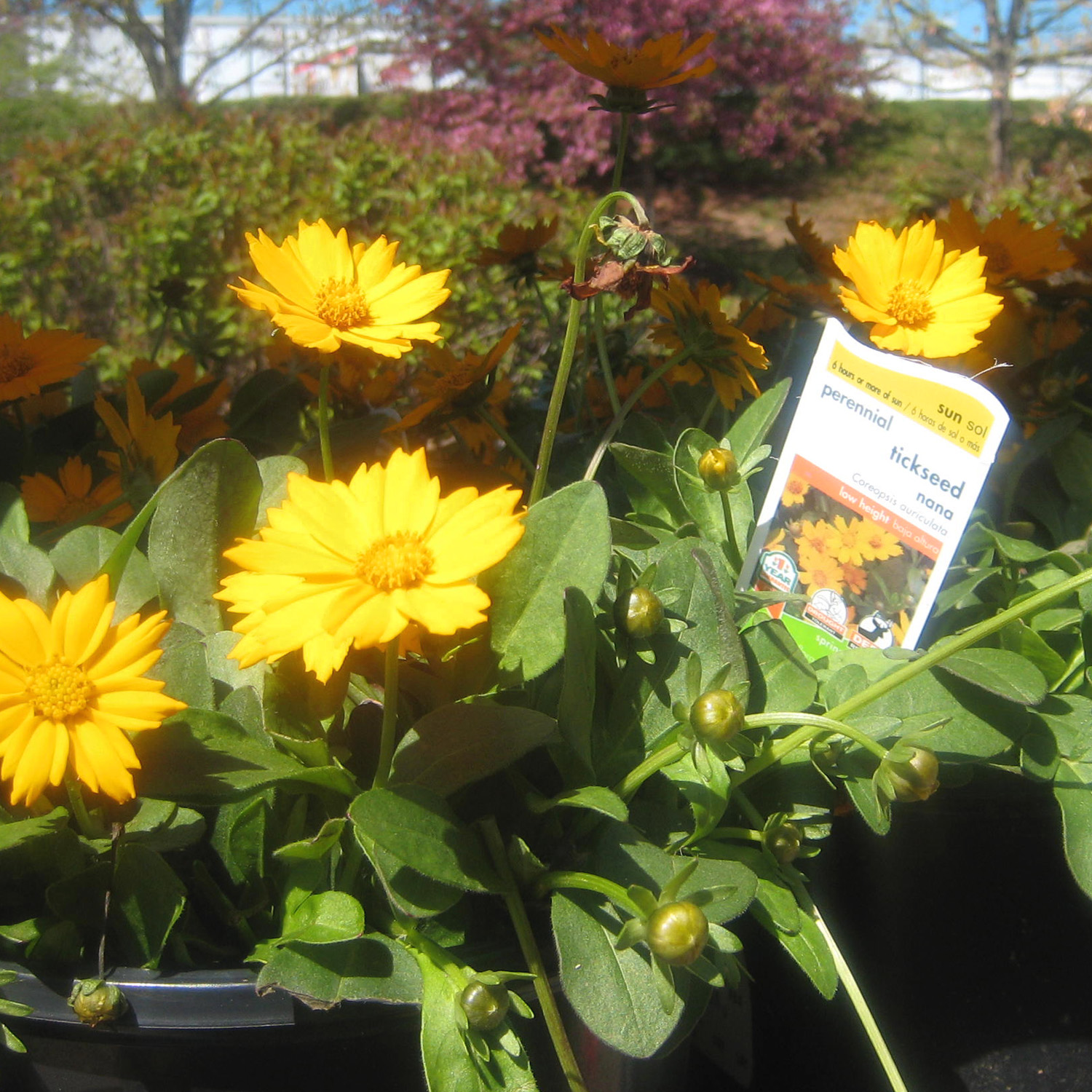Perennials at Home Depot: What looks good right now | Stately Kitsch