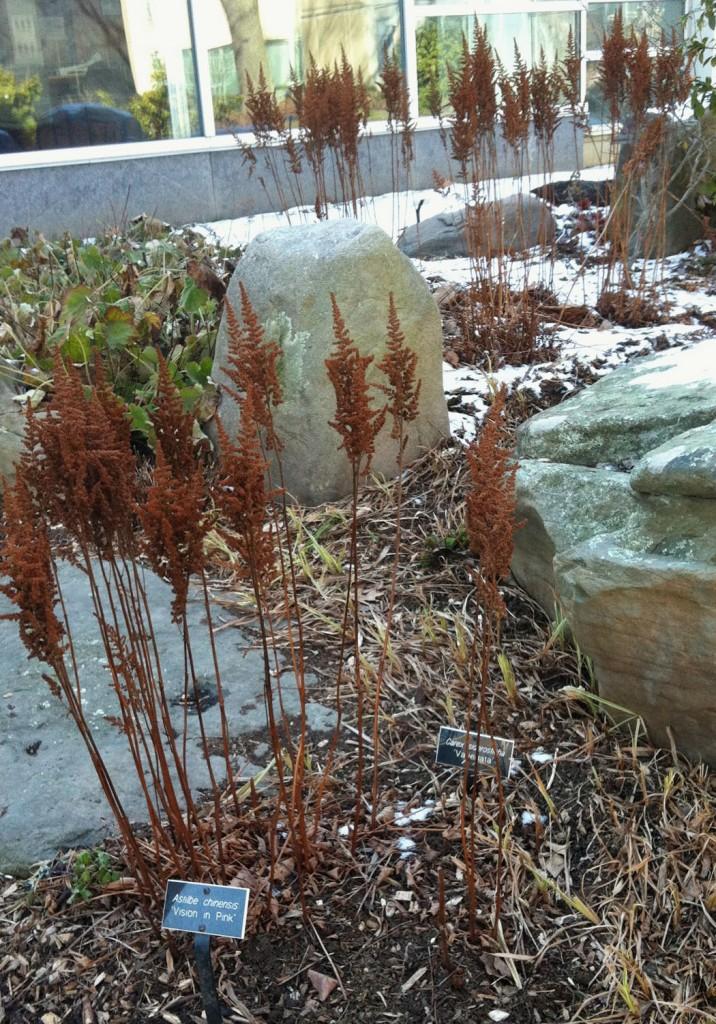 astilbe-visionsinpink-winter