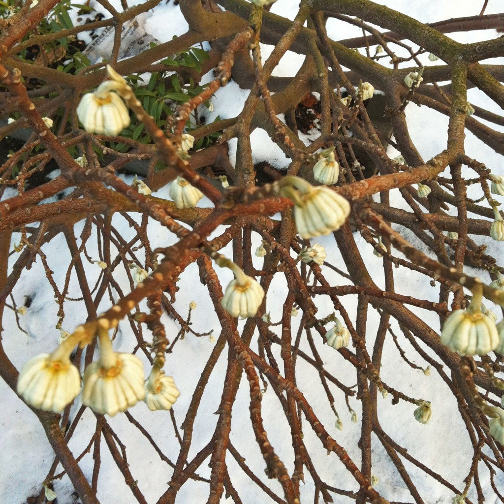 edgeworthia-winter