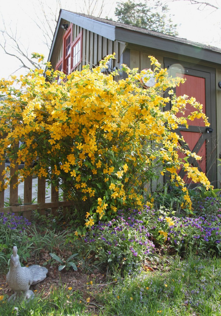 kerria-yellowfloweringbush1