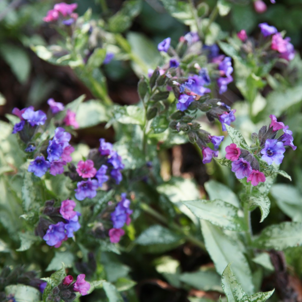 lungwort-purpleflower1