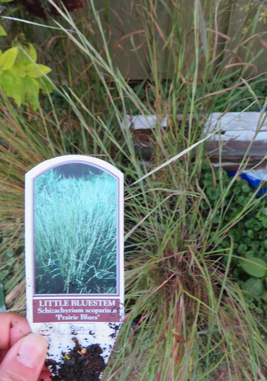 LittleBluestem-prairieblues